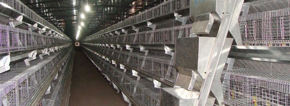 A frame battery cages with automatic feeding system
