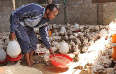 Broiler Chicken Farming Tips