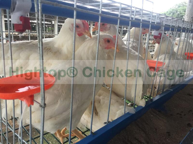 chicken egg farm