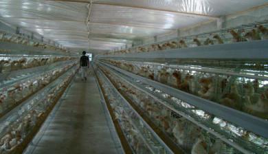 chicken farm project