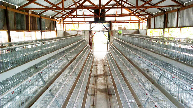 commercial chicken farming