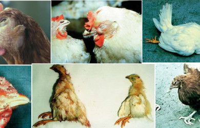 poultry diseases signs symptoms
